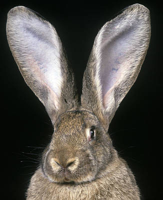 Big Ears Photograph - Giant Flemish Rabbit by Jean-Michel Labat
