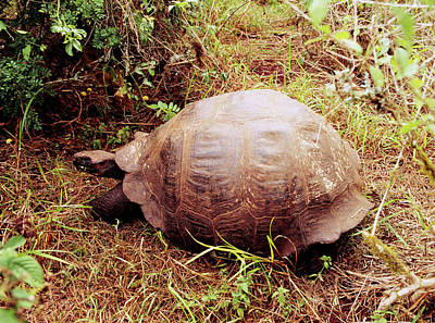 Galapagos Photograph - Giant Galapagos Tortoise: Geochelone Elephantosus by Dr Morley Read/science Photo Library