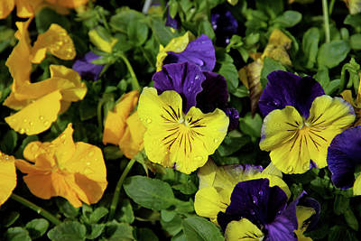 Giant Garden Pansies Art Print