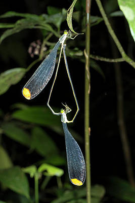 Dragonflies Mating Photograph - Giant Helicopter Damselflies by Dr Morley Read