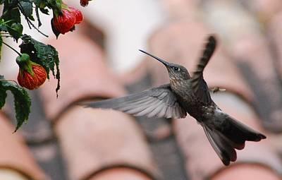 Photograph - Giant Hummingbird by Cascade Colors