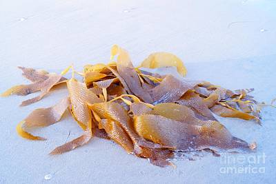 Photograph - Giant Kelp Washed Ashore by Kerri Mortenson
