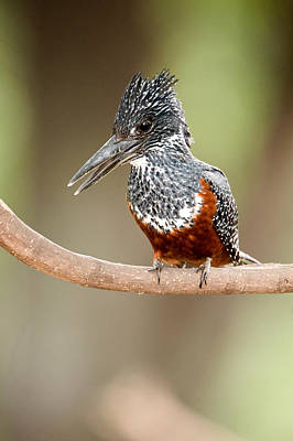 Kingfisher Photograph - Giant Kingfisher Megaceryle Maxima by Panoramic Images