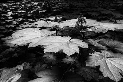 Devils Claw Photograph - Giant Leaves Forest Floor by Allan Van Gasbeck