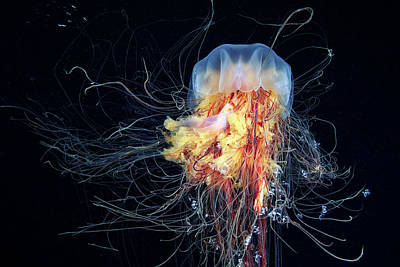 Jellyfish Photograph - Giant Lion's Mane by Alexander Semenov