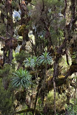 African Heritage Photograph - Giant Lobelia (lobelia Lanuriensis by Martin Zwick