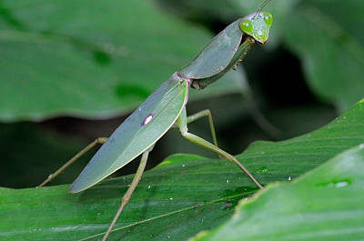Photograph - Giant Malaysian Shield Mantis by Fletcher and Baylis