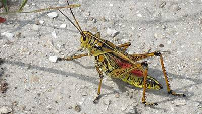 Photograph - Giant Orange Grasshopper by Ron Davidson