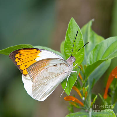 Giant Orange Tip Butterfly Art Print by Jane Rix
