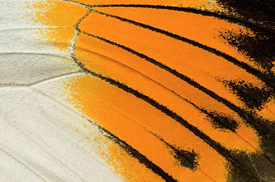 Lincolnshire Photograph - Giant Orange-tip Butterfly Wing Markings by Nigel Downer