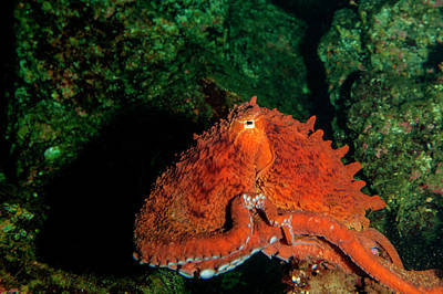 Octopuses Photograph - Giant Pacific Octopus (enteroctopus by James White