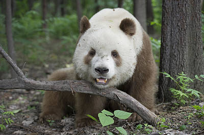 Bamboo Photograph - Giant Panda Brown Morph China by Katherine Feng