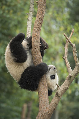 Panda Bears Photograph - Giant Panda Cub In Tree Chengdu Sichuan by Katherine Feng