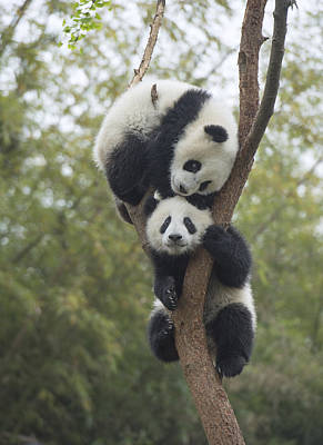 Animal Behavior Photograph - Giant Panda Cubs Playing Chengdu by Katherine Feng