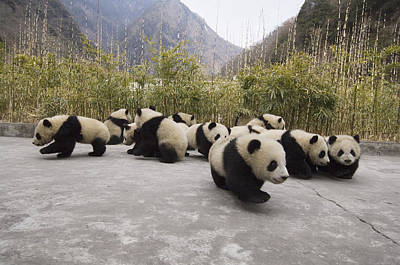 Giant Panda Cubs Wolong China Art Print by Katherine Feng