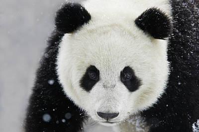 Photograph - Giant Panda In Snow by Keren Su