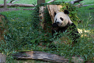 Photograph - Giant Panda by Leah Palmer