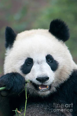 Photograph - Giant Panda by Mark Newman