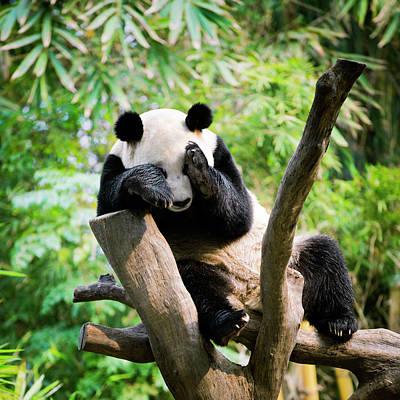 Hiding Photograph - Giant Panda by Pan Xunbin