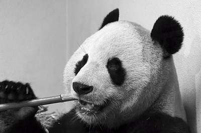 Photograph - Giant Panda by Ross G Strachan