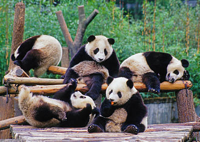 Art Print featuring the photograph Giant Pandas by Dennis Cox ChinaStock