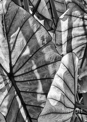 Photograph - Giant Powell Gardens Leaves Bw by Vinnie Oakes