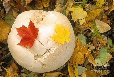 Photograph - Giant Puffball, Calvatia Gigantea by Larry West