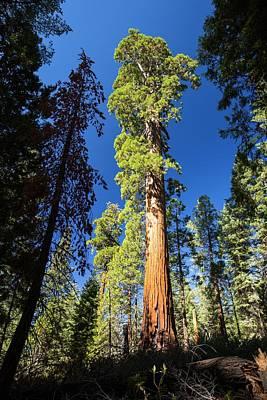 Giant Redwood Art Print