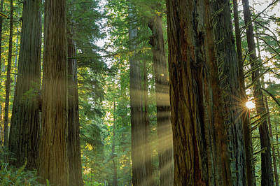 Giant Redwood Forest In Jedediah Smith Art Print by Chuck Haney