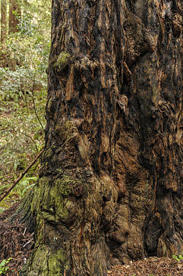 Photograph - Giant Redwood Tree Muir Woods by Marianne Campolongo