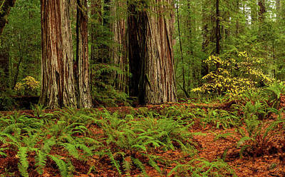 Giant Fern Photograph - Giant Redwood Trees And Ferns Leaves by Panoramic Images