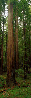 Giant Redwood Trees Ave Of The Giants Art Print by Panoramic Images