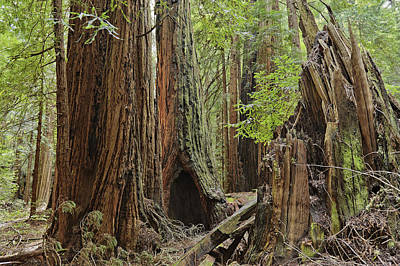 Photograph - Giant Redwoods Muir Woods by Marianne Campolongo