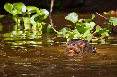 Photograph - Giant River Otter 1 by David Beebe