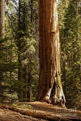 Giant Sequoia  1-7834 Art Print