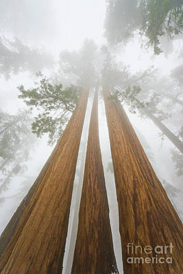 Three Trees Photograph - Giant Sequoias In The Fog  by Yva Momatiuk John Eastcott