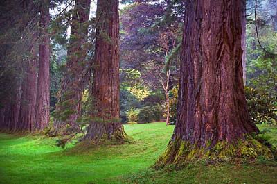 Photograph - Giant Sequoias II. Benmore Botanical Garden. Scotland by Jenny Rainbow