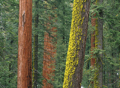 Photograph - Giant Sequoias In Grant Grove Sequoia by Tim Fitzharris