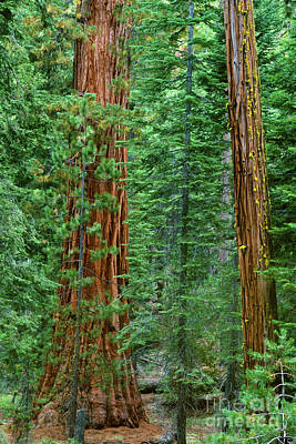 Giant Sequoias Sequoiadendron Gigantium Yosemite Np Ca Art Print by Dave Welling