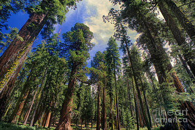 Photograph - giant sequoias sequoiadendron gigantium yosemite NP by Dave Welling