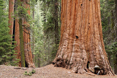 Photograph - Giant Sequoias by Steve Kaye