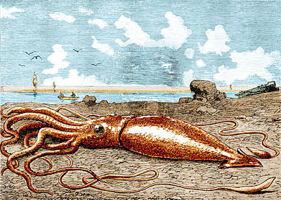 1880s Photograph - Giant Squid, 1887 by Science Source
