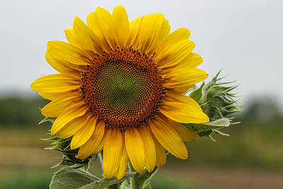 Wine Corks Royalty Free Images - Giant Sunflower Royalty-Free Image by Alan Hutchins