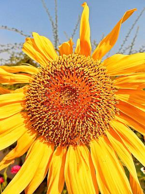 Photograph - Giant Sunflower by John Norman Stewart