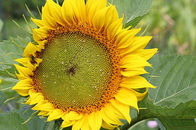 Photograph - Giant Sunflower by Lucinda VanVleck