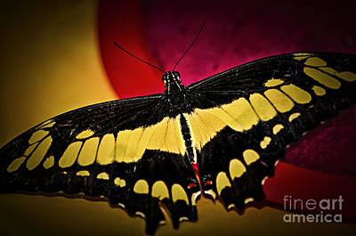 Giant Swallowtail Butterfly Print by Elena Elisseeva
