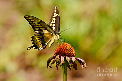 Photograph - Giant Swallowtail Butterfly by Kathy Baccari