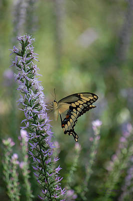 Photograph - Giant Swallowtail Butterfly - Papilio Cresphontes by rd Erickson