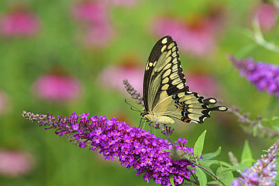 Buddleia Photograph - Giant Swallowtail Butterfly (papilio by Richard and Susan Day