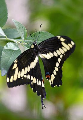 Giant Swallowtail Butterfly  Print by Saija  Lehtonen
